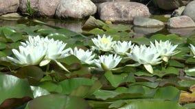Άσπρα lilys απόθεμα βίντεο