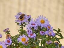 Άσπρα Marigold λουλούδια Στοκ Εικόνες