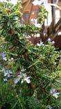 Άσπρα officinalis Rosmarinus δεντρολιβάνου Στοκ Εικόνες