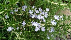 Άσπρα officinalis Rosmarinus δεντρολιβάνου Στοκ Φωτογραφία