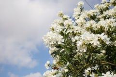 Άσπρα oleanders που ανθίζουν στον κήπο Κλείστε επάνω την άποψη, μπλε ουρανός με το υπόβαθρο σύννεφων, copyspace Στοκ εικόνα με δικαίωμα ελεύθερης χρήσης