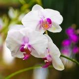 Άσπρα orchid λουλούδια Στοκ Φωτογραφίες