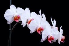 Άσπρος orchids ατμός στοκ εικόνα