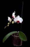 Άσπρα orchids στο δοχείο στοκ εικόνες