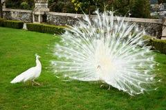 Άσπρα peacocks Στοκ Φωτογραφίες