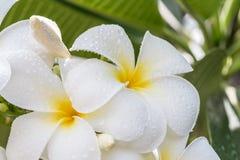 Άσπρα plumeria & x28 frangipani& x29  Στοκ Εικόνα
