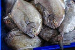 Άσπρα Pomfret ψάρια Στοκ Εικόνες