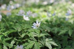 Άσπρα primroses ανοίξεων anemone λουλουδιών Στοκ φωτογραφία με δικαίωμα ελεύθερης χρήσης