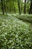 άσπρα wildflowers Στοκ Φωτογραφίες