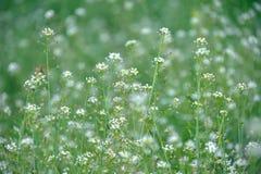 άσπρα wildflowers Στοκ φωτογραφίες με δικαίωμα ελεύθερης χρήσης