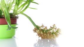 Άσπρα wither βολβών λουλουδιών υάκινθων στο λευκό φιλμ μικρού μήκους