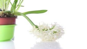 Άσπρα wither βολβών λουλουδιών υάκινθων στο λευκό απόθεμα βίντεο