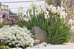 Άσπρες ίριδες στο μεσογειακό κήπο στοκ φωτογραφία με δικαίωμα ελεύθερης χρήσης