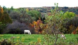 Άσπρες αγελάδες που βόσκουν με το τοπίο φθινοπώρου στοκ εικόνα με δικαίωμα ελεύθερης χρήσης