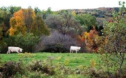 Άσπρες αγελάδες που βόσκουν με το τοπίο φθινοπώρου στοκ εικόνες