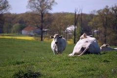 Άσπρες αγελάδες στην πράσινη χλόη Στοκ Φωτογραφίες