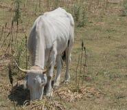 Άσπρες αγελάδες Irpinia Ιταλία Στοκ φωτογραφία με δικαίωμα ελεύθερης χρήσης