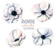 Άσπρες απεικονίσεις λουλουδιών anemone Watercolor Στοκ Φωτογραφία