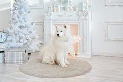 Άσπρες διακοσμήσεις Χριστουγέννων στο στούντιο με το σκυλί Στοκ Εικόνα