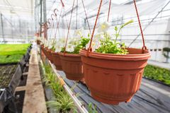 Άσπρες εγκαταστάσεις πετουνιών στα δοχεία ή flowerpots στο σύγχρονο θερμοκήπιο, εμπορική manufactory ανάπτυξη των διακοσμητικών ε Στοκ εικόνα με δικαίωμα ελεύθερης χρήσης