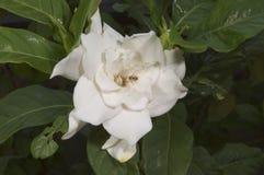 Άσπρες εγκαταστάσεις gardenia Στοκ Φωτογραφία