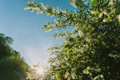 Άσπρες ιώδεις ανθίσεις στη δασική άνοιξη Ουρανός Bue Στοκ εικόνα με δικαίωμα ελεύθερης χρήσης