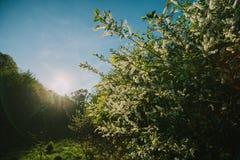 Άσπρες ιώδεις ανθίσεις στη δασική άνοιξη Στοκ Εικόνα