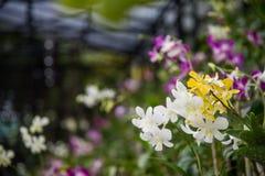 Άσπρες και κίτρινες ορχιδέες Στοκ Εικόνα