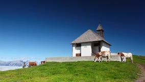 Άσπρες και καφετιές αγελάδες κοντά στο παρεκκλησι απόθεμα βίντεο