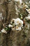 Άσπρες καμέλιες ντυμένες με το ισπανικό βρύο στοκ εικόνες με δικαίωμα ελεύθερης χρήσης