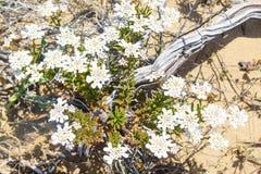 Άσπρες λουλούδια και βλάστηση σε Arrifana Στοκ φωτογραφία με δικαίωμα ελεύθερης χρήσης