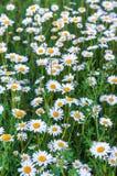 Άσπρες μαργαρίτες τη φωτεινή θερινή ημέρα Στοκ φωτογραφία με δικαίωμα ελεύθερης χρήσης