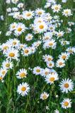 Άσπρες μαργαρίτες τη φωτεινή θερινή ημέρα Στοκ Φωτογραφίες