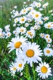 Άσπρες μαργαρίτες τη φωτεινή θερινή ημέρα Στοκ Εικόνες