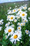 Άσπρες μαργαρίτες τη φωτεινή θερινή ημέρα Στοκ εικόνες με δικαίωμα ελεύθερης χρήσης