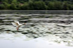 Άσπρες μύγες χήνων πέρα από τη λίμνη κατά τη διάρκεια της μετανάστευσης Στοκ Φωτογραφία
