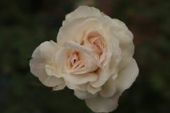 Άσπρες ομορφιά RoseThe και ειρήνη της φύσης στοκ εικόνα με δικαίωμα ελεύθερης χρήσης