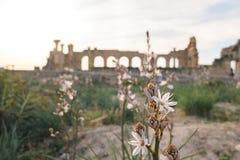 Άσπρες λουλούδι και βασιλική, Volubilis, Μαρόκο Στοκ Φωτογραφία