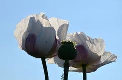 Άσπρες λουλούδι και κάψα της παπαρούνας στο αντίθετο του ουρανού Στοκ εικόνα με δικαίωμα ελεύθερης χρήσης