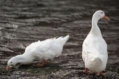 Άσπρες πάπιες Στοκ εικόνες με δικαίωμα ελεύθερης χρήσης