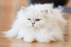 Άσπρες περσικές γάτες Στοκ εικόνα με δικαίωμα ελεύθερης χρήσης