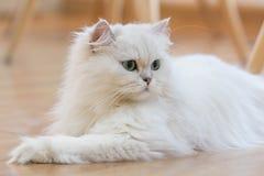 Άσπρες περσικές γάτες Στοκ Φωτογραφία