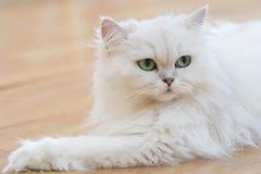 Άσπρες περσικές γάτες Στοκ Εικόνες
