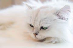 Άσπρες περσικές γάτες Στοκ φωτογραφίες με δικαίωμα ελεύθερης χρήσης