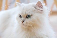Άσπρες περσικές γάτες Στοκ φωτογραφία με δικαίωμα ελεύθερης χρήσης