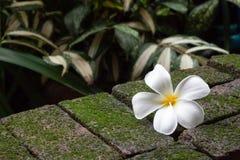 Άσπρες πτώσεις λουλουδιών plumeria στο πράσινο καφετί τούβλο βρύου Στοκ εικόνες με δικαίωμα ελεύθερης χρήσης