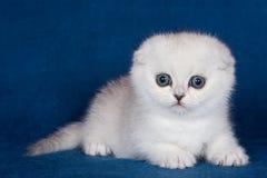 Άσπρες ριγωτές σκωτσέζικες πτυχές γατακιών στοκ φωτογραφίες με δικαίωμα ελεύθερης χρήσης