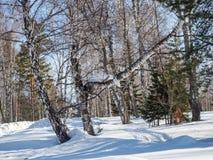 Άσπρες σημύδες στο χειμερινό δάσος στο υπόβαθρο του φωτεινού μπλε ουρανού με τα σύννεφα σε Altai, Ρωσία στοκ εικόνα με δικαίωμα ελεύθερης χρήσης