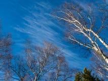 Άσπρες σημύδες στο χειμερινό δάσος στο υπόβαθρο του φωτεινού μπλε ουρανού με τα σύννεφα σε Altai, Ρωσία στοκ εικόνες με δικαίωμα ελεύθερης χρήσης