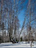 Άσπρες σημύδες στο χειμερινό δάσος στο υπόβαθρο του φωτεινού μπλε ουρανού με τα σύννεφα σε Altai, Ρωσία στοκ φωτογραφίες